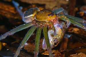 Fishing spider (Thaumasia sp.) adult female eating a tadpole, Los Amigos Biological Station, Madre de Dios, Amazonia, Peru. - Emanuele Biggi