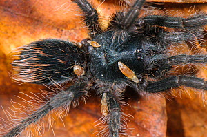 Peruvian Tarantula (Pamphobeteus sp.), young individual parasitized by Phoridae fly larvae, Los Amigos Biological Station, Madre de Dios, Amazonia, Peru. - Emanuele Biggi