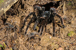 Peruvian Tarantula (Pamphobeteus sp.) adult and young emerging from their communal burrow at night, Los Amigos Biological Station, Madre de Dios, Amazonia, Peru. - Emanuele Biggi