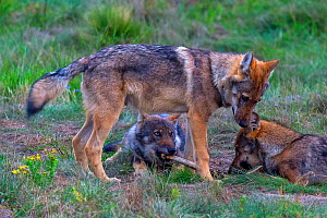 Wild wolf (Canis lupus), young wolves play-fighing in meadow, Saxony-Anhalt, Germany, August.  -  Axel  Gomille