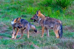 Wild wolf (Canis lupus) young play-fighing in meadow, Saxony-Anhalt, Germany, August.  -  Axel  Gomille