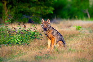 Wolf (Canis lupus), sitting, Saxony-Anhalt, Germany  -  Axel  Gomille