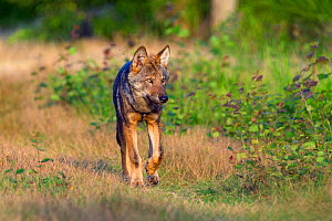 Wolf (Canis lupus) walking, Saxony-Anhalt, Germany  -  Axel  Gomille