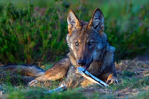 Wolf (Canis lupus) chewing on bone, Saxony-Anhalt, Germany  -  Axel  Gomille