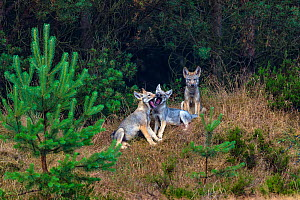 Wolf (Canis lupus), cubs playing at edge of woodland, Saxony-Anhalt, Germany, July.  -  Axel  Gomille