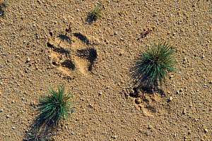 Wolf (Canis lupus) footprints, Saxony, Germany, August.  -  Axel  Gomille