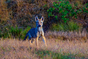 Wolf (Canis lupus), cub in grass, Saxony-Anhalt, Germany, July.  -  Axel  Gomille