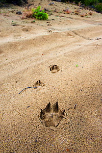Wolf (Canis lupus) footprints, Saxony, Germany, July.  -  Axel  Gomille