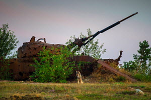 Wolf (Canis lupus), sitting in front of wrecked tank, military training area, Saxony-Anhalt, Germany  -  Axel  Gomille