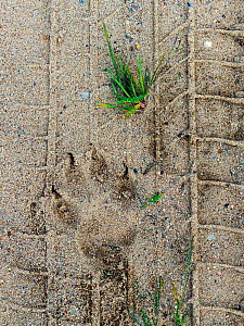 Wolf (Canis lupus) footprints in tire tracks, Saxony-Anhalt, Germany, August.  -  Axel  Gomille