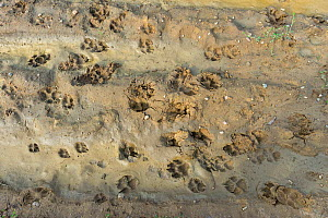 Wolf (Canis lupus) footprints, Saxony-Anhalt, Germany, August.  -  Axel  Gomille