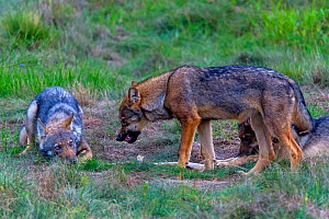 Wolf (Canis lupus), young wolves play fighting in meadow, Saxony-Anhalt, Germany. - Axel  Gomille
