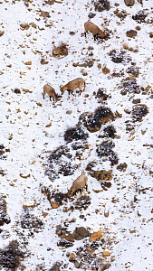Himalayan ibex (Capra sibirica) females and young in Spiti valley, Cold Desert Biosphere Reserve, Himalaya mountains, Himachal Pradesh, India, February  -  Oriol  Alamany