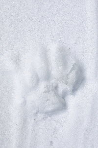 Footprint of Snow leopard (Panthera uncia) in snow, Spiti valley, Cold Desert Biosphere Reserve, Himalaya mountains, Himachal Pradesh, India, February  -  Oriol  Alamany