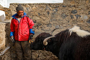 Kibber villager with a domestic Yak (Bos grunniens), Spiti valley, Cold Desert Biosphere Reserve, Himalaya mountains, Himachal Pradesh, India, February 2017. - Oriol  Alamany