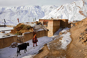 Woman with a domestic yak (Bos grunniens) in Kibber village at 4.270 m, Spiti valley, Cold Desert Biosphere Reserve, Himalaya mountains, Himachal Pradesh, India, February - Oriol  Alamany