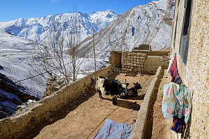 Two yaks (Bos gruinensis) in an open corral of a house in the village of Kibber, Spiti Valley, Cold Desert Biosphere Reserve, Himalaya mountains, Himachal Pradesh, India, February - Oriol  Alamany