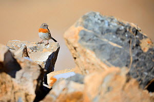Robin Accentor (Prunella rubeculoides) in Spiti valley, Cold Desert Biosphere Reserve, Himalaya mountains, Himachal Pradesh, India, February  -  Oriol  Alamany