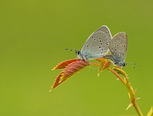 Small blue adult, Cupido minimus, pair mating, Bedfordshire  -  Paul Hobson