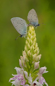 Small blue adult, Cupido minimus, pair mating on common spotted orchid, Bedfordshire  -  Paul Hobson