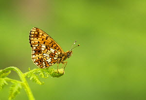 Small Pearl-bordered fritillary (Boloria selene) butterfly resting on frond. Wyre Forest, Worcestershire, England, UK. - Paul Hobson