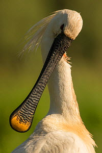 Spoonbill (Platalea leucorodia) preening, close up. Hungary. May. - Paul Hobson