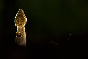 Stinkhorn fungus (Phallus impudicus), backlit at night. Nottinghamshire, England, UK.  -  Paul Hobson