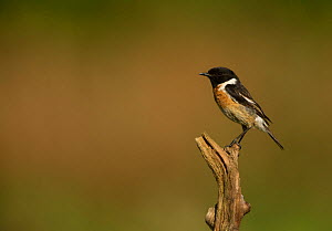 Stonechat (Saxicola rubicola) male perched on twig. Surrey, England, UK. May. - Paul Hobson