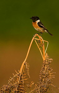 Stonechat (Saxicola rubicola) male perched on Bracken (Pteridium aquilinum) frond. Surrey, England, UK. May. - Paul Hobson