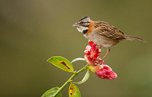 Stripe-headed sparrow (Peucaea ruficauda) perched on flower. Costa Rica.  -  Paul Hobson