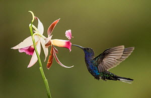 Violet sabrewing hummingbird (Campylopterus hemileucurus) nectaring on Orchid. Costa Rica.  -  Paul Hobson