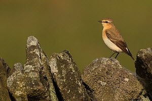 Wheatear (Oenanthe oenanthe), female perched on stone wall. Sheffield, England, UK. May. - Paul Hobson