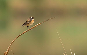 Whinchat (Saxicola rubetra) male on migration perched on Reedmace. Sheffield, England, UK. May. - Paul Hobson