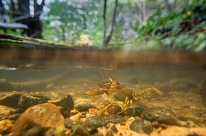 White-clawed crayfish (Austropotamobius pallipes) on riverbed, split level image. Staffordshire, England, UK. October. - Paul Hobson