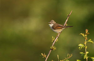 Whitethroat (Sylvia communis) male singing, perched on Hawthorn twig. Sheffield, England, UK. May.  -  Paul Hobson