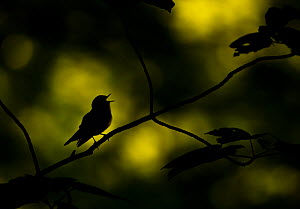 Wood warbler (Phylloscopus sibilatrix) singing whilst perched on branch, silhouetted at dawn. Sheffield, England, UK. May.  -  Paul Hobson