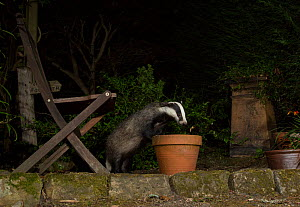 Badger (Meles meles) investigating flowerpot in urban garden at night. Sheffield, England, UK. August. - Paul Hobson