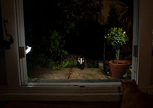 Badger (Meles meles) in garden at night, viewed through conservatory doors. Cat looking on from inside. Sheffield, England, UK. August. - Paul Hobson
