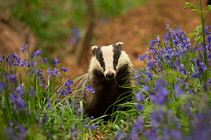 Badger (Meles meles) amongst Bluebells (Hyacinthoides non-scripta). Scotland, UK. May.  -  Paul Hobson