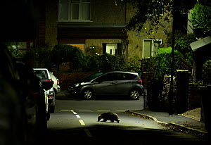 Badger (Meles meles) crossing road in residential area at night. Sheffield, England, UK. October 2018. - Paul Hobson