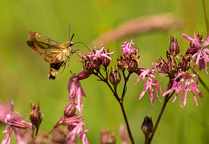 Broad bordered bee hawk moth (Hemaris fuciformis) nectaring on Ragged robin (Silene flos-cuculi). Lincolnshire, England, UK. - Paul Hobson