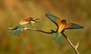 European bee-eater (Merops apiaster), two in conflict, perched on branch. Hungary. May. - Paul Hobson