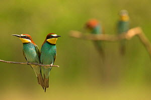 European bee-eater (Merops apiaster) pair perched on branch looking in opposite directions, another pair in background. Hungary. May. - Paul Hobson
