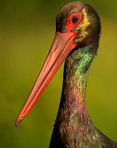 Black stork (Ciconia nigra), portrait. Hortobagyi National Park, Hungary. May.  -  Paul Hobson