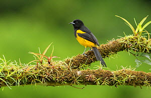 Black-cowled oriole (Icterus prosthemelas) perched on branch. Costa Rica. - Paul Hobson