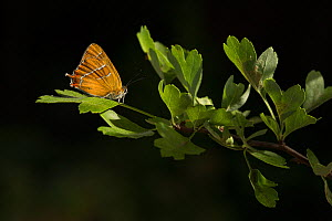 Brown hairstreak (Thecla betulae) resting on Hawthorn (Crataegus monogyna). Lincolnshire, England, UK. July. - Paul Hobson