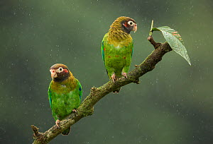 Brown-hooded parrot (Pyrilia haematotis), two perched on branch in rain. Costa Rica. - Paul Hobson