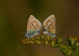 Common blue butterfly (Polyommatus icarus) pair mating, perched on Bracken (Pteridium aquilinum) frond. North Wales, England, UK. June.  -  Paul Hobson