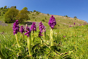 Early purple orchids (Orchis mascula) in calcareous grassland. Cressbrook Dale, Peak District, Derbyshire. April 2017.  -  Paul Hobson