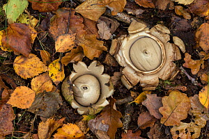 Collared earth star (Geastrum triplex), two on woodland floor. South Yorkshire, England, UK. September.  -  Paul Hobson
